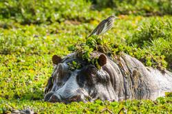 Flusspferd im Salat_IWG4539