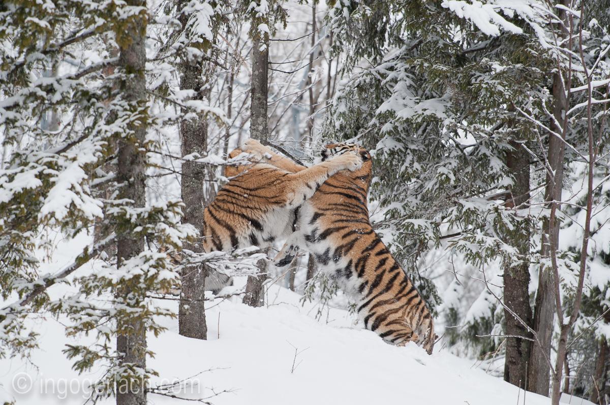 Sibirischer Tiger_IG34776