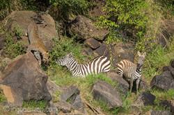 Leopard_Krokodil_Zebra_D4N_4395
