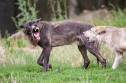 Timberwolf und Grauwolf_IGB8061