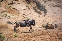 wildebeest jump to death_IWG4289