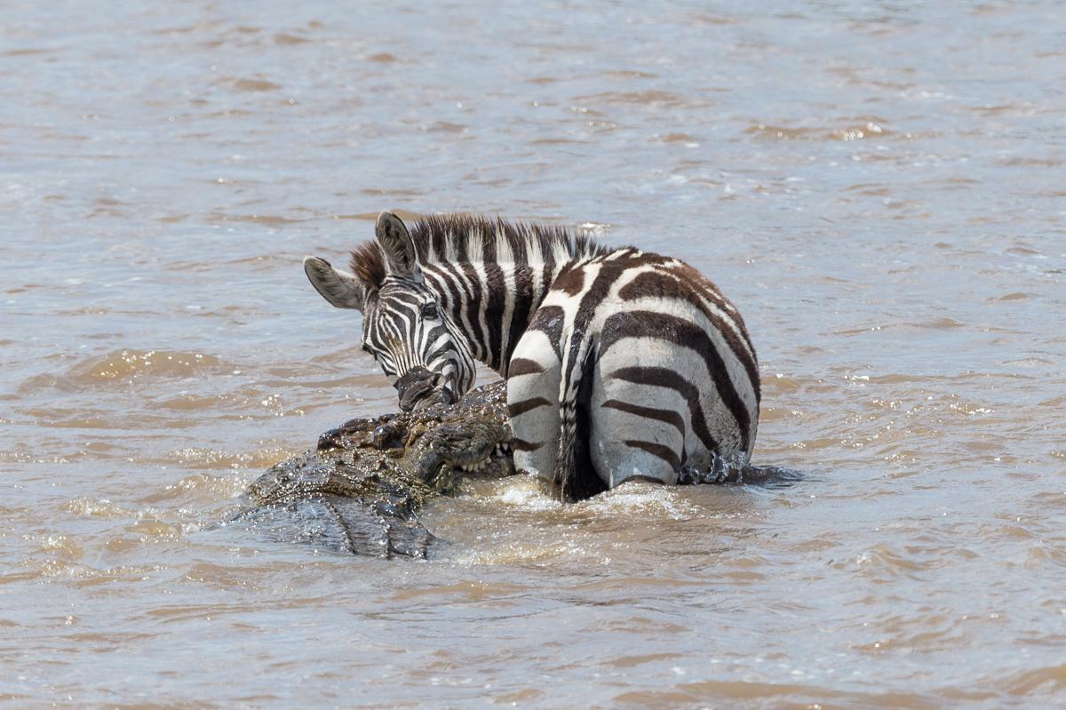Zebra © Ingo Gerlach_D4N_4655