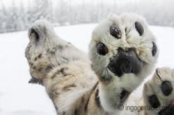 Schneeleopard_Snowleopard_DSC0632-2
