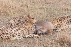 Geparden auf Jagd_IGB3054