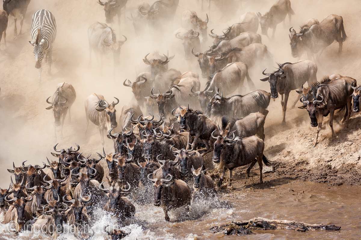 Gnu | Wildebeest_IWG0027