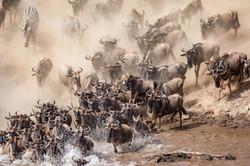 Gnu   Wildebeest_IWG0027