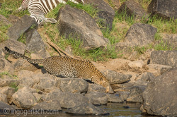 Leopard_Krokodil_Zebra_D726378