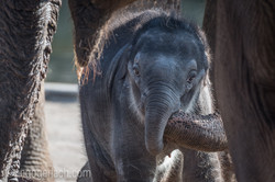 Baby_elephant_Zoo_Cologne_D50_2817