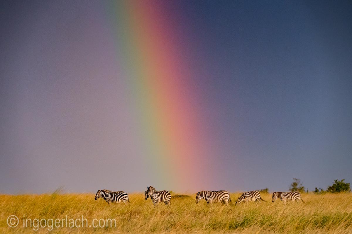 Over the Rainbow_Zebra_D4N_5236