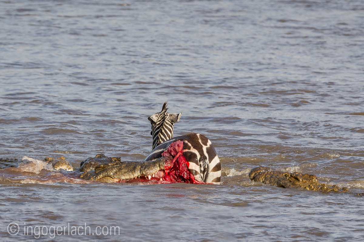 Krokodil killt Zebra__D725246