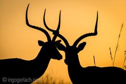 Impala at sunrise_D4N_2728
