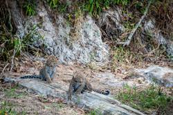 Mama Leopard mit ihren Babys_IG35770