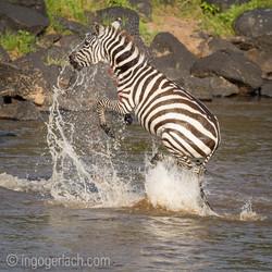 Leopard_Krokodil_Zebra_D4N_4374-2