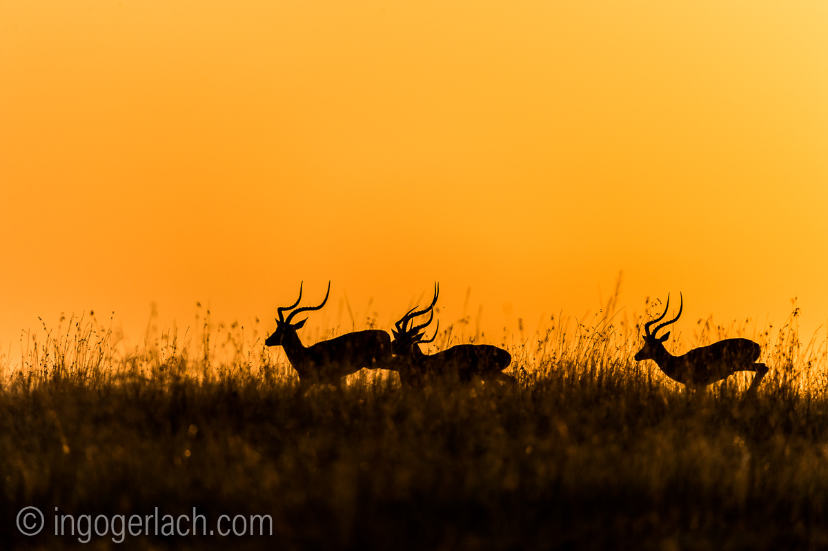 Impala at sunrise_D4N_2689