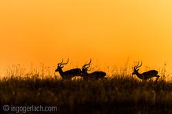 Impala at sunrise_D4N_2689