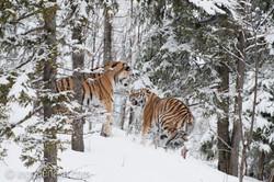 Sibirischer Tiger_IG34782