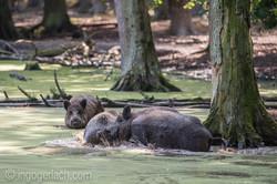 Wildschwein im Wasser_D4N7794