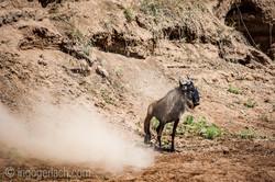 wildebeest jump to death_IWG4401
