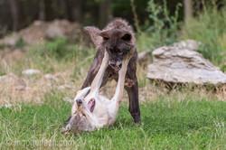 Timberwolf und Grauwolf_IGB8099