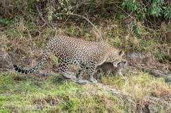 Mama Leopard mit ihren Babys_IG35720