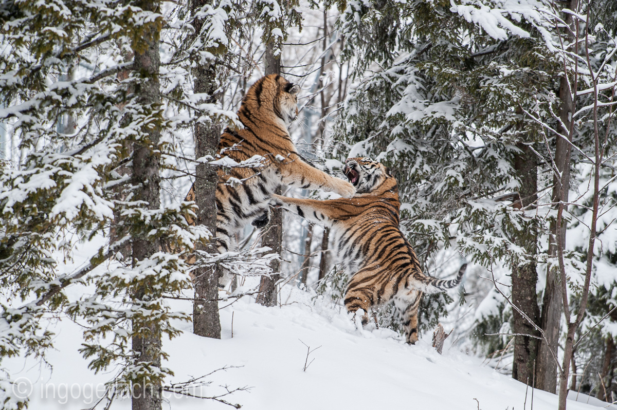 Fighting Siberian Tigers...