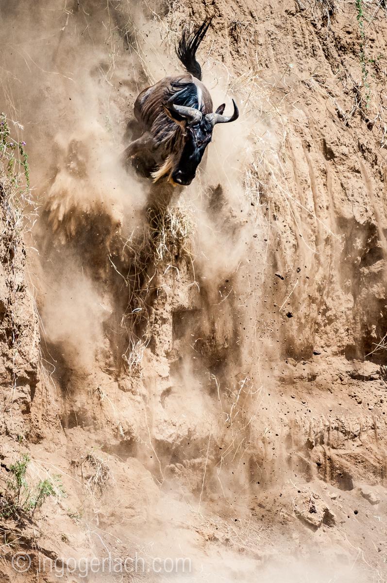 Gnu | Wildebeest_IWG4402