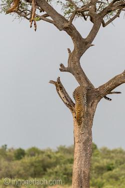 Leopard_D4N_0833