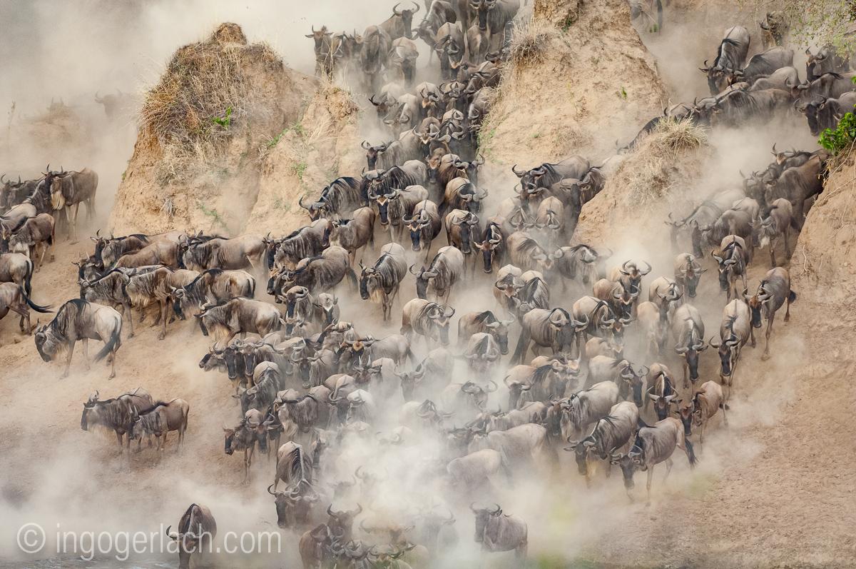Gnu | Wildebeest_IGB6270