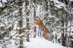 Sibirischer Tiger_IG34770
