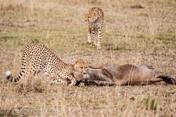 Geparden auf Jagd_IG37617