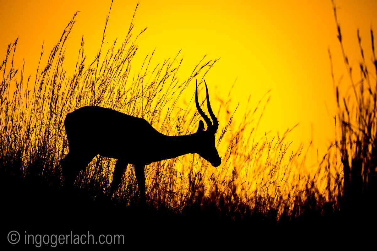 Impala at sunrise_D4N_2587