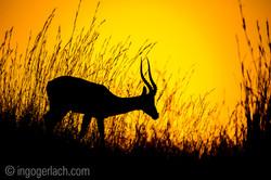Impala at sunrise_D4N_2587
