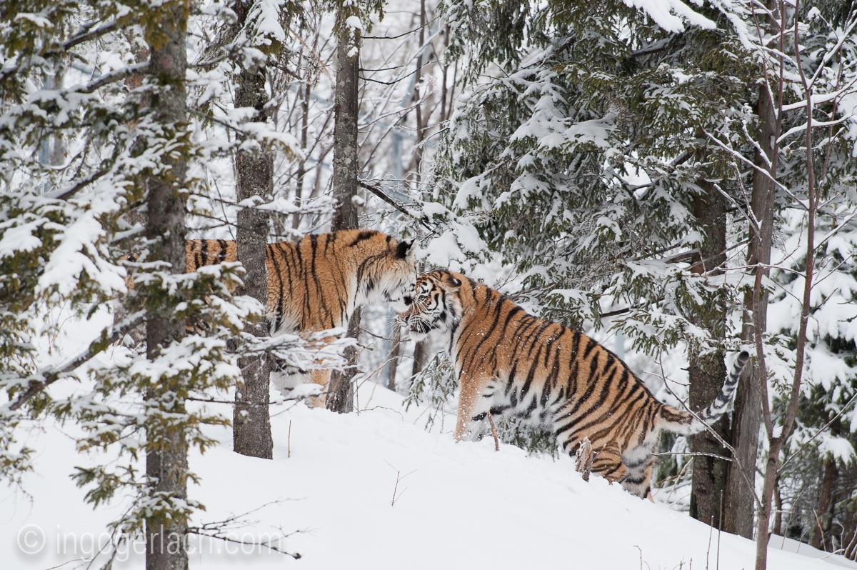 Sibirischer Tiger_IG34784