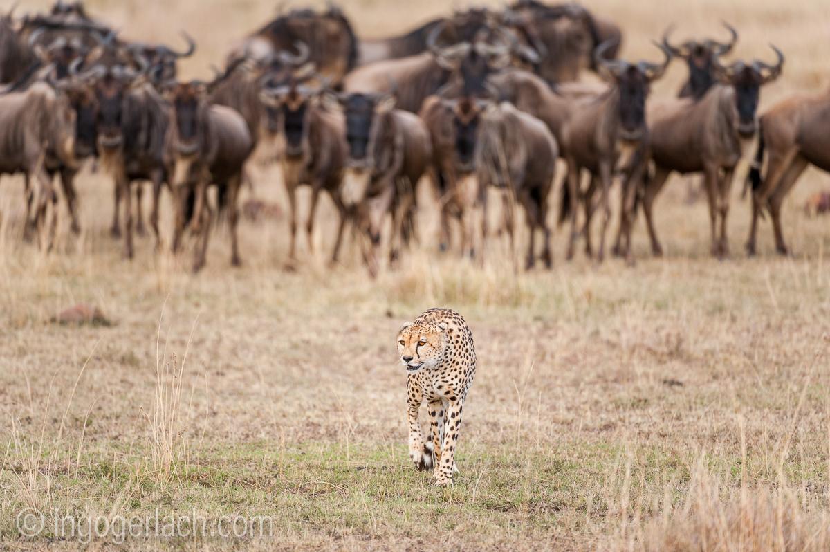 Geparden auf Jagd_IG37632