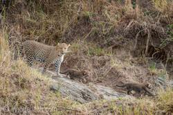 Mama Leopard mit ihren Babys_IG35706