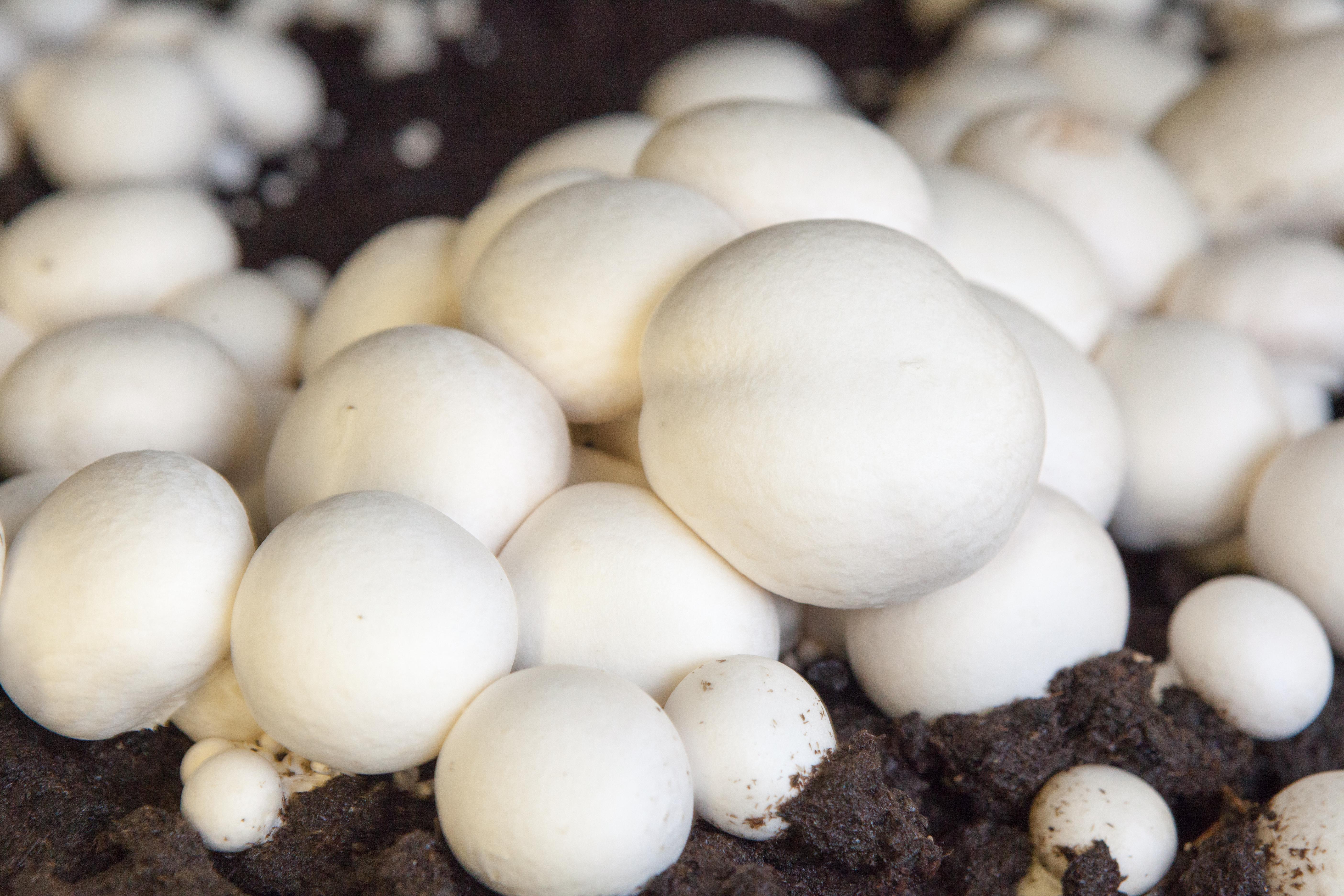 Pietro Mushrooms Day 2-211