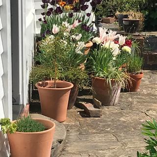 Tulip pots