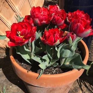 Dream Tulips