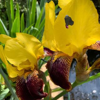 Virginia irises