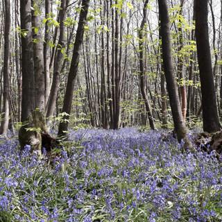 Bluebells from Linda.jpg