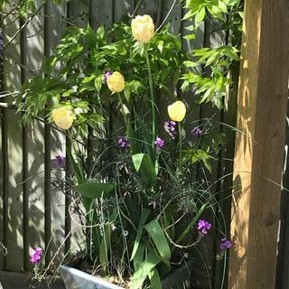Tulips among wisteria