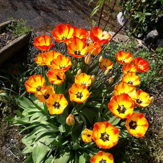U3A Tulips