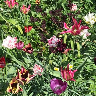 Mixed tulip border