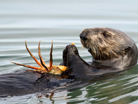 Sea Otters & Their Role in The Marine Ecosystem