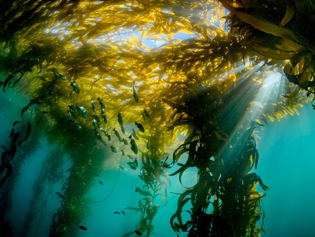 What's Happening to Kelp Forests in California?