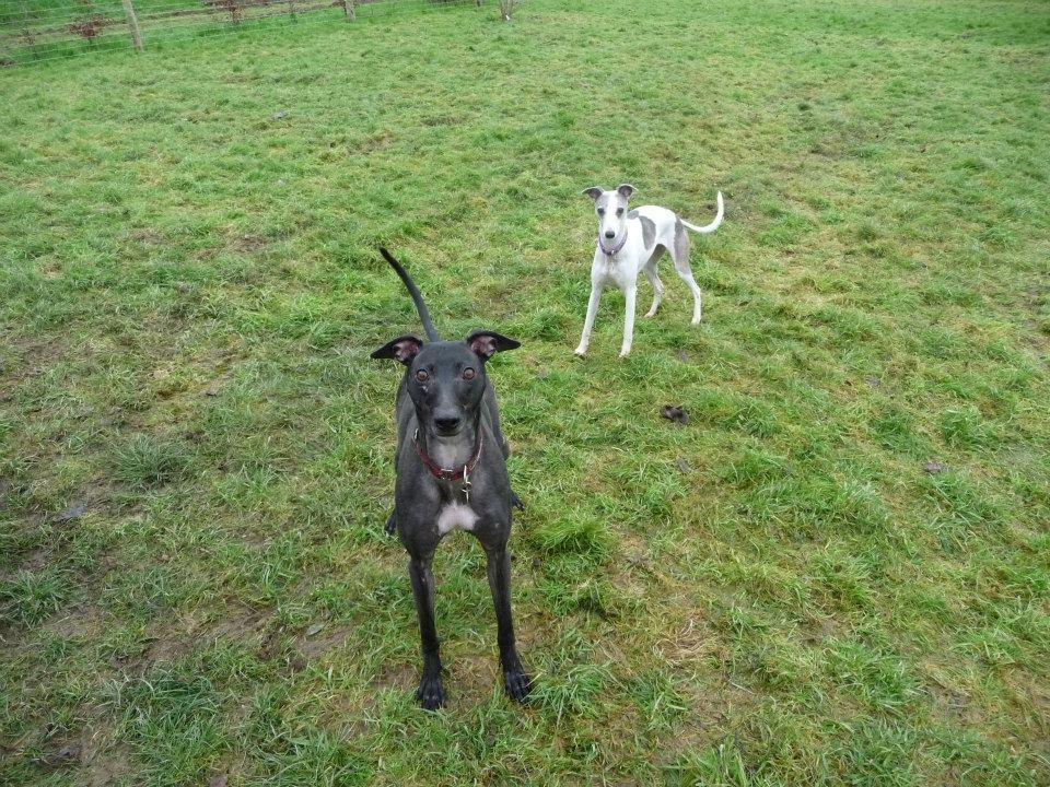Lurcher posing in enclosed dog field