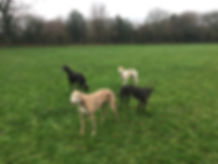 Four sighthounds standing in a secure dog paddock in Devon, surrounded by tall trees on a grey Winter day