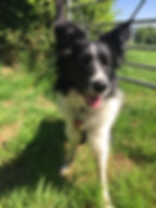 A Border Collie enjoying an off lead walk across the countryside in Devon on a sunny day