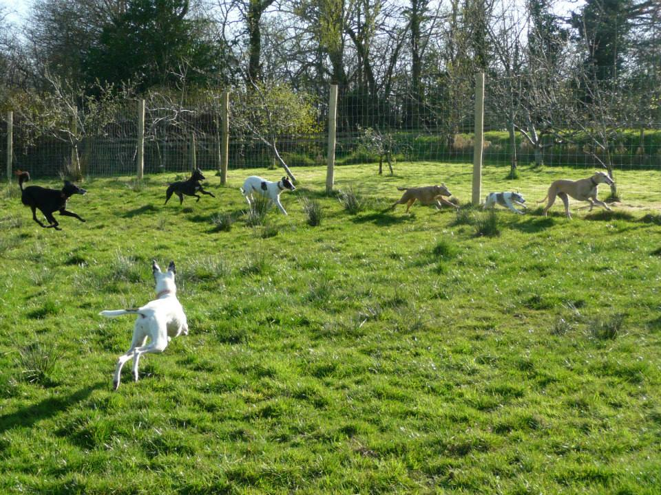 Sighthounds running in dog field