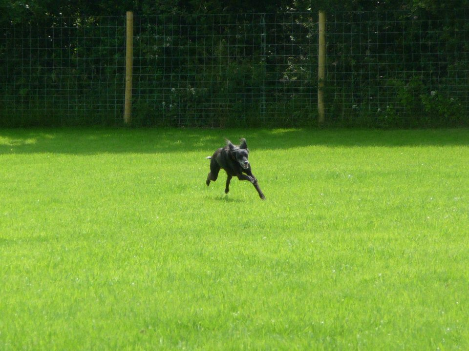 Saluki playing in secure dog paddock
